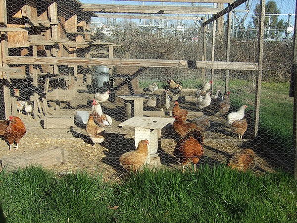 Contact Us | Awesome Araucana Chicken Hatchery
