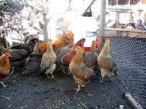 awesome-araucana-chickens-1