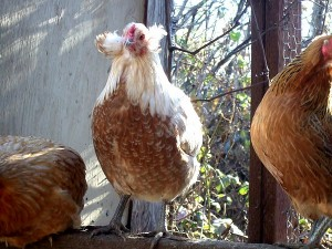 awesome-araucana-chickens-2